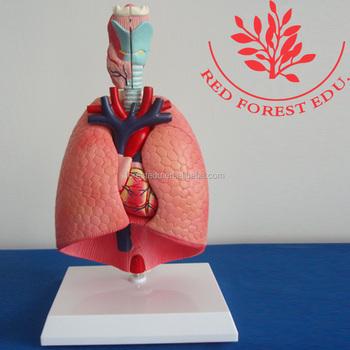 Dos Pulmones Medio De Fuente,Órganos Torácicos,Modelo Del Sistema ...