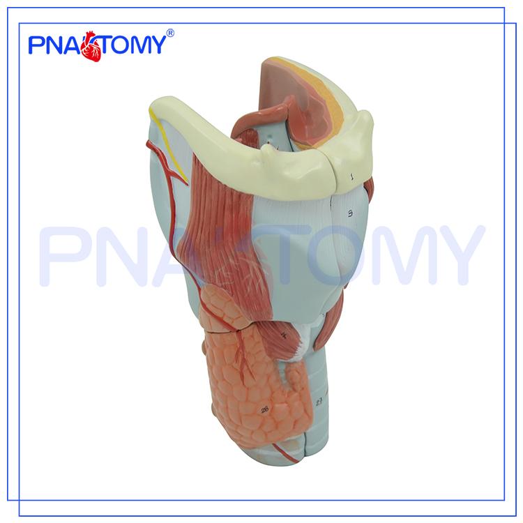 Pnt-0440 Los Cartílagos Laringe Expansión Anatomía Modelo De ...