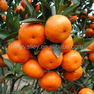 High Quality Jiangxi Nanfeng Sweet Honey Orange Seeds For Sale