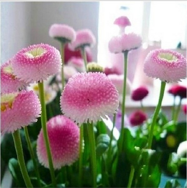 100pcs. strawberry ice cream little daisy seeds Bonsai plants Seeds for home & garden