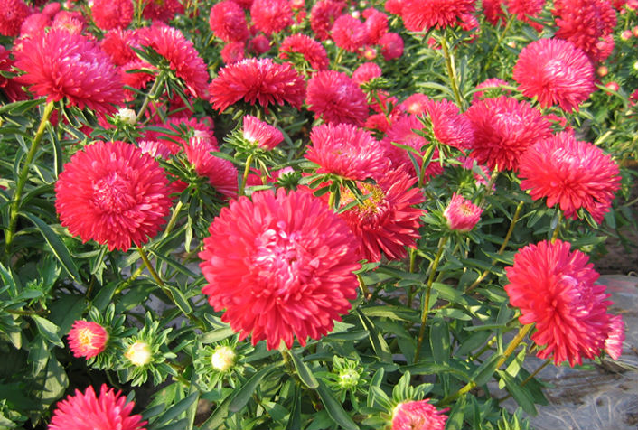 Beautiful Flowers Garden Flower Seeds China Aster Seeds For Sale ...