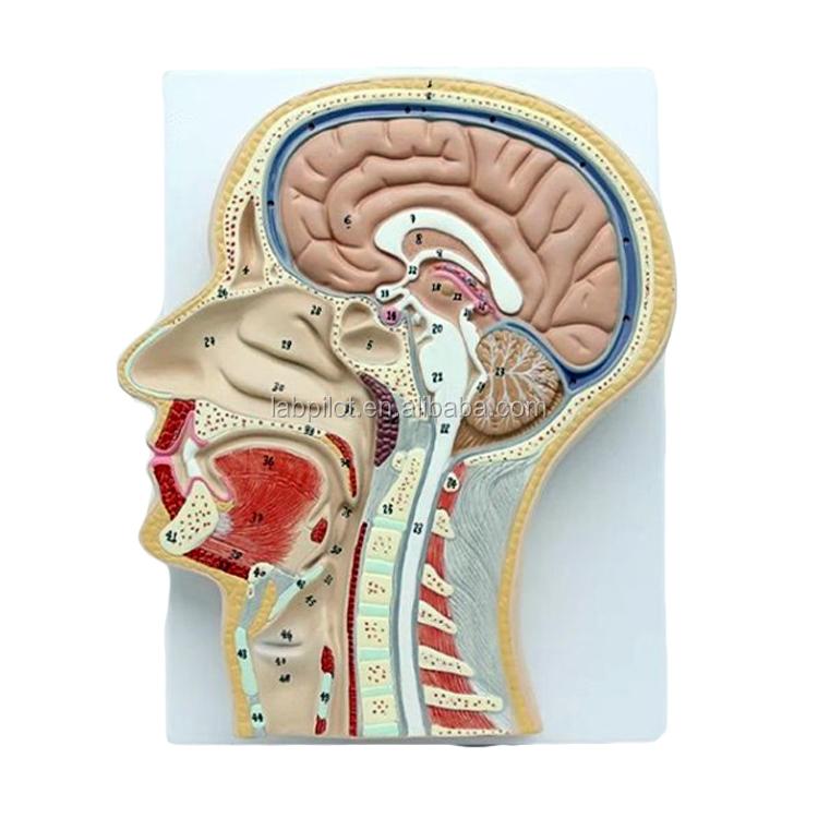 Dissektion Kopf modell, anatomischen Kopf und Gehirn mit Mund, Nase ...