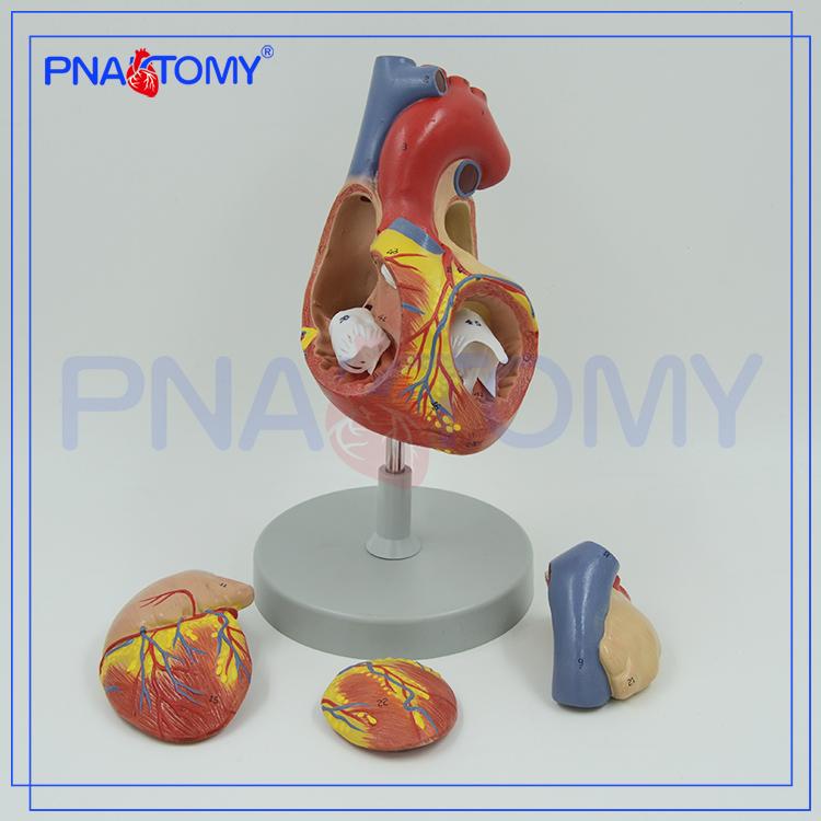 Pnt-0405 Medizinische Simulation Modell Typ Und Kunststoff Anatomie ...