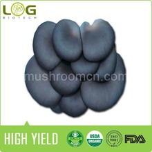 China Best black oyster mushroom spawn for sale