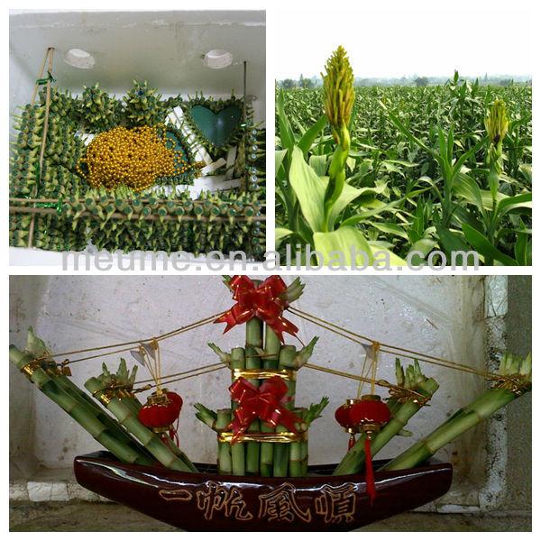 chanceux plantes de bambou chinois feng shui plantes plantes aquatiques usines bois es id de. Black Bedroom Furniture Sets. Home Design Ideas