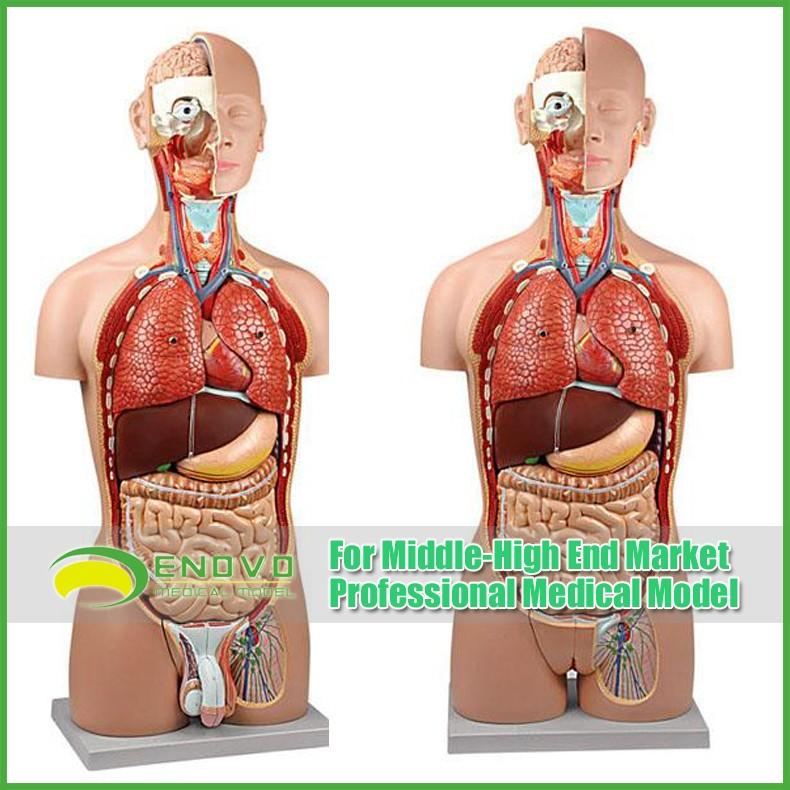Modelos De Enseñanza Plástico Torso Humano Anatomía Con Extraíble ...