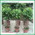 Outside plant products ficus benjiamina cage bonsai tree
