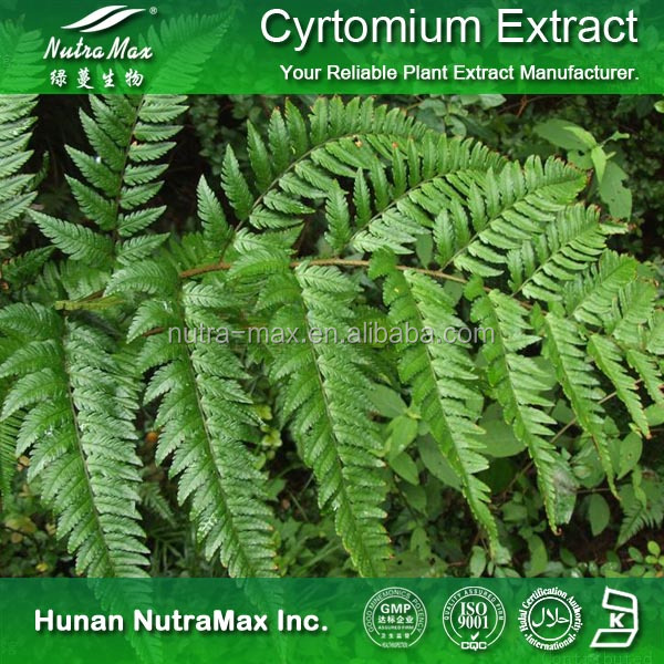 Health Care Supplement Cyrtomium Extract , Cyrtomium Leaf Powder , Cyrtomium P.E.
