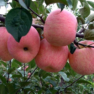 2019 New crop Chinese Fresh fruit Red Fuji Apple