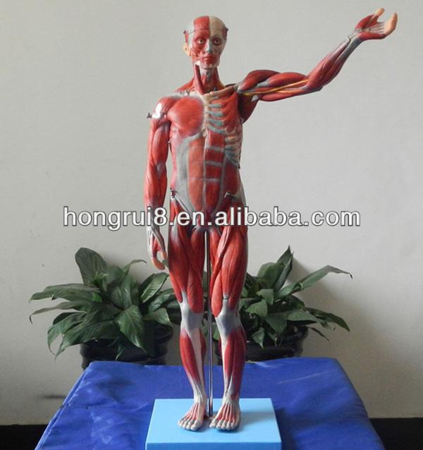 78cm Anatomical Muscles Modelshuman Anatomy Model Buy Human