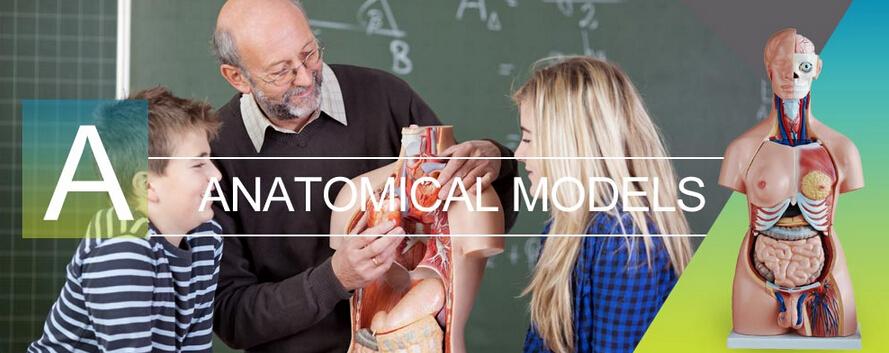 80cm Menschlichen Anatomie Muskel-modell Mit 27 Teile - Buy Anatomie ...