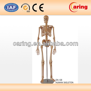 Holz Menschlichen Anatomie Skelett-modell - Buy Product on Alibaba.com