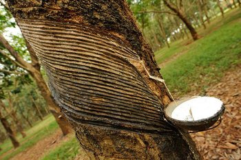 Rubber Tree Plantation/ Estate/ Land - Buy Rubber Plantation For Sale In Bd  Product on Alibaba com