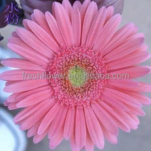 Fresh Cut Gerbera flowers