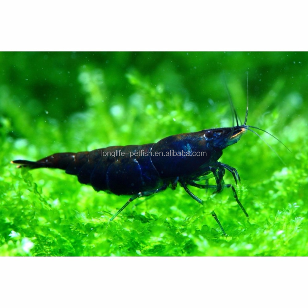High Grade Freshwater Neocaridina Blue Angel Shrimp