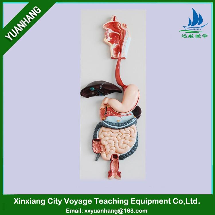 Pvc Menschlichen Anatomische Verdauungssystem Modell (3 Teile) Für ...