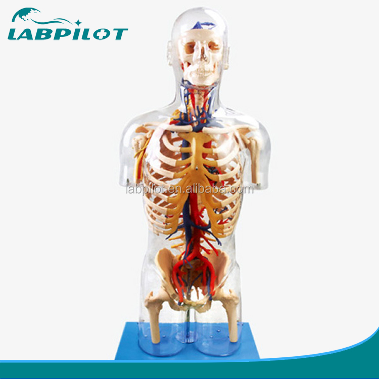 Transparent Torso with Main Neural and Vascular Structures model,human torso model 53 points marked
