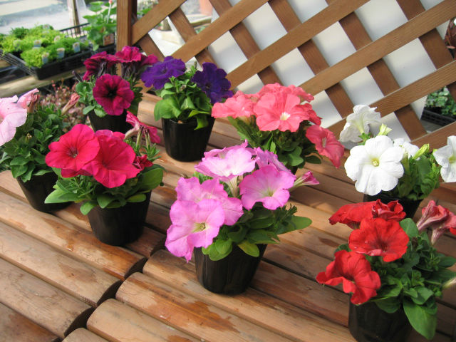 Wave Petunia Seed For Planting Buy Wave Petunia Seed How To Grow