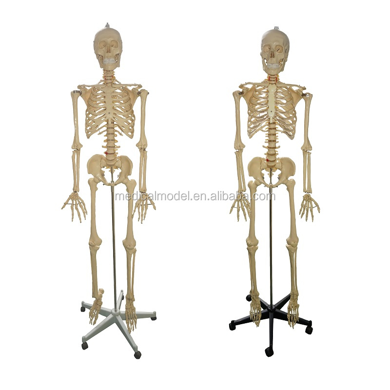 Human Skeleton Modelartificial Skeletonskeleton Anatomy Model