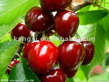2012 new 100% Natural VC--Acerola cherry extract (Malpighia glabra L.)--hot selling!!