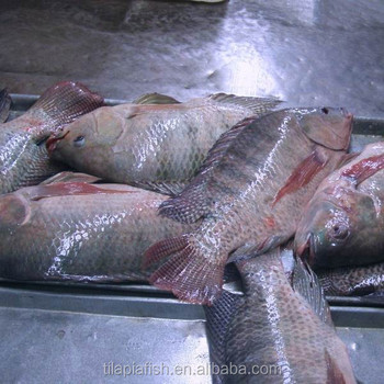 Live Tilapia Fish On Sale