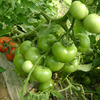 Highly resistant to TY and root nematode Tomato Seeds
