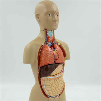 High Quality Human Torso Model With Internal Organs Buy Human
