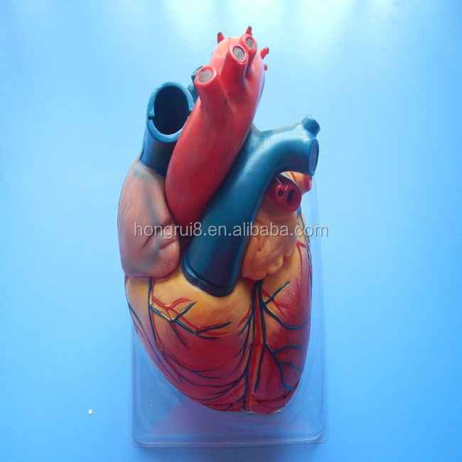 Hot Sales Human Adult Anatomy Heart Medical Model,Plastic Heart ...