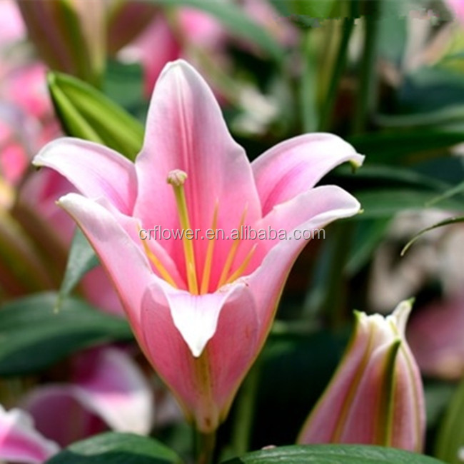 High Class Fresh cut flowers Pink color Oriental Hybrid lily In Alibaba