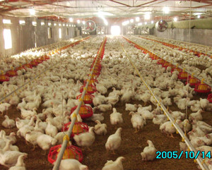 Poultry farm automatic feeder system for chicken