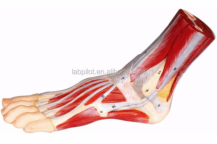 31 Anatomy Marked Planta And Dorsum Of Foot Model,Foot Anatomy Model ...