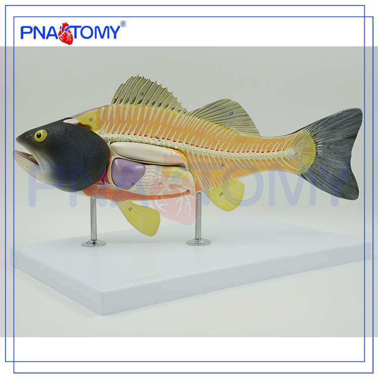Fish Dissection Model, Fish Dissection Model Suppliers and ...