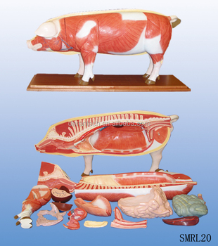 Pig Dissection Model - Buy Pig Dissection,Plastic Dissection Model ...