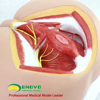 Sell 12463 Life Size Anatomy Biology Education Male Perineum Medical ...
