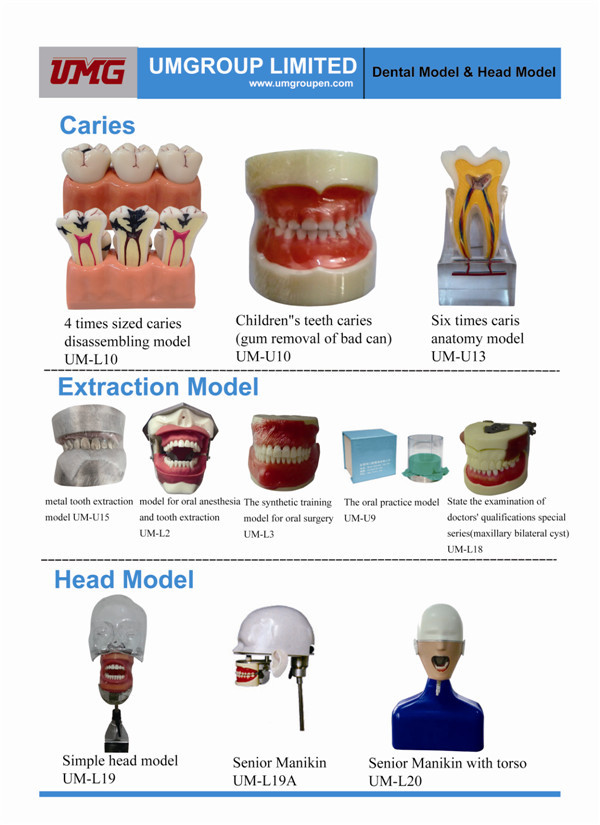 공장 Supplier small teeth model, teeth care model, 치과 model