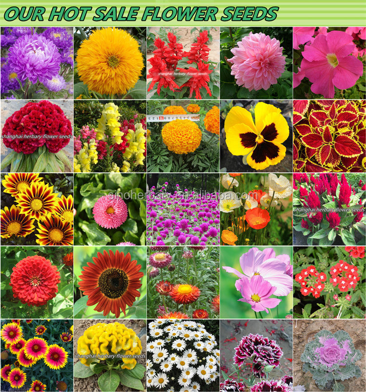 2020 Fresh High Sprouting Rate Hybrid Marigold Flower Seed