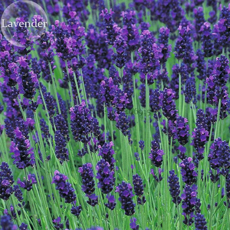 online kaufen gro handel blau schnittblumen aus china blau schnittblumen gro h ndler. Black Bedroom Furniture Sets. Home Design Ideas