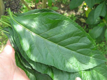 Bitter Leaf - Buy Vernonia Amygdalina Bitter Leaf Product ...