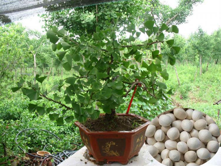 como plantar semillas de ginkgo biloba