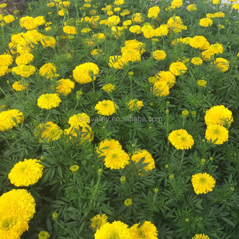 490ea57d0d2 Garden Flower Seeds F1 Hybrid Marigold Seed Tagetes erecta seeds For Sale
