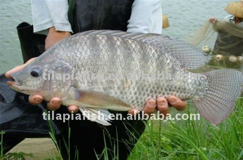 Best Selling China Original Frozen Tilapia Fish