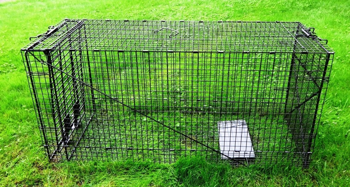 Heavy Duty Extra Large Live Animal Traps Great for Medium to Large Animal Trapping Coyote Raccoon Poles Cat - Humane Catch and Release Galvanized Steel Live Trap 50 x 24 x 19 Inches