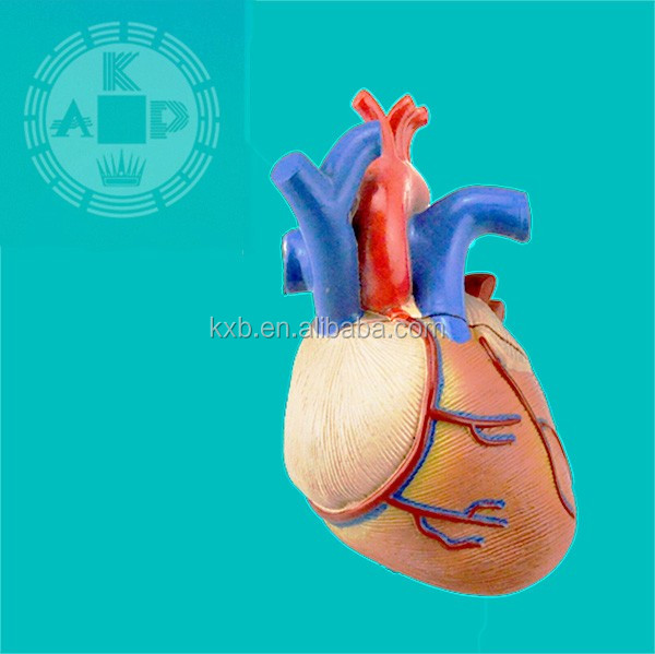 Plastic Medical Heart Model,Education Anatomical Heart Teaching ...