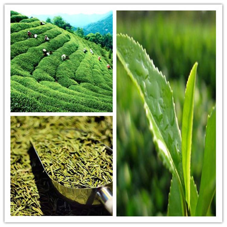 Chinese famous high quality green tea - 4uTea   4uTea.com