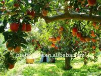 2014 High quality Chinese fresh red Huaniu Apple