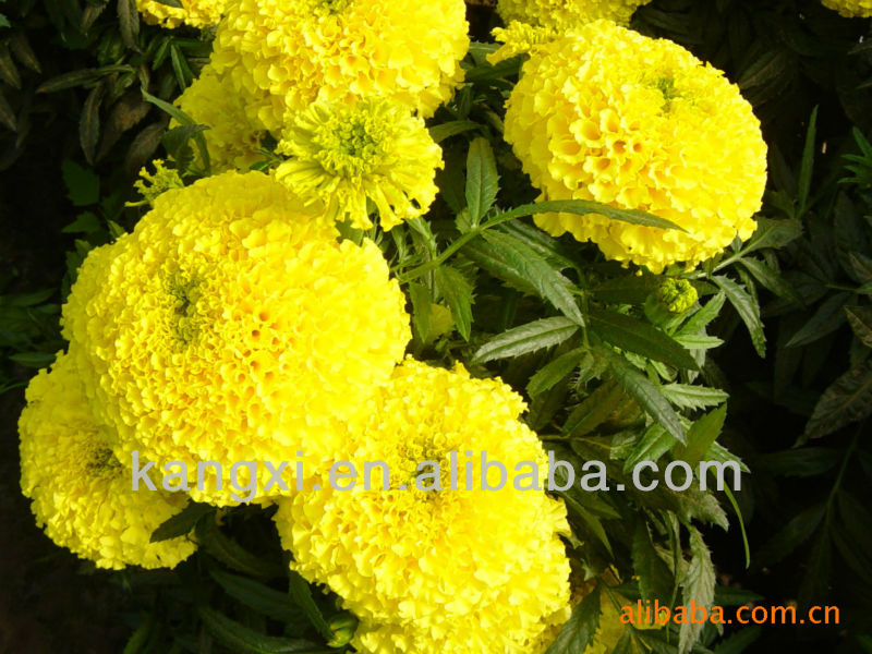 Flower seed--French Marigold