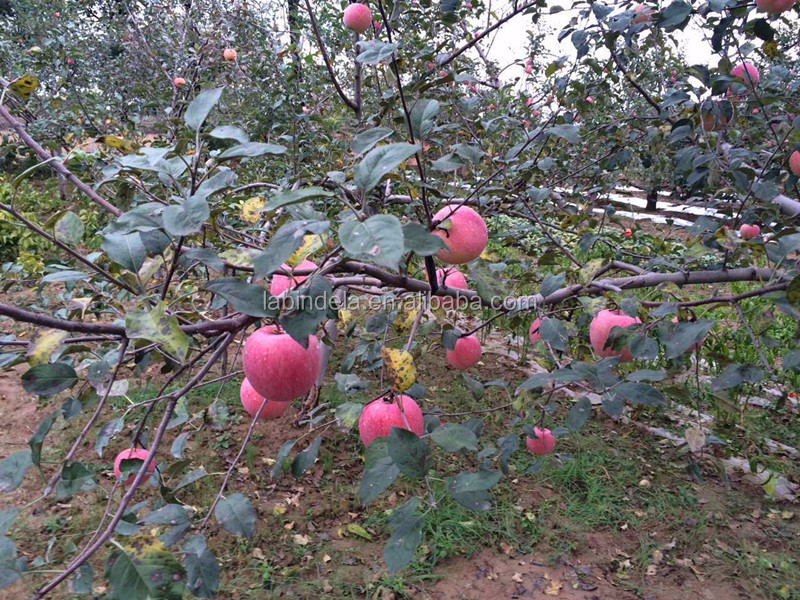 Fresh Red Apple Whole Sale Price Scientific Name Of All Fruits ...