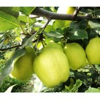 2020 New China Fresh Pear Farm Pear