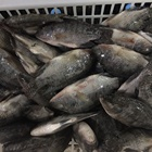 Fish Frozen Whole Round Tilapia Fish Alive When Freezing