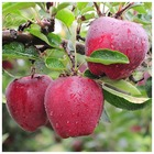 wholesale fresh fruits apples